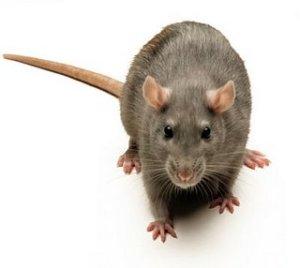 Ratas mediocres que dominan nuestras vidas.